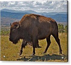 High Plains Buffalo Acrylic Print by Stephen  Johnson