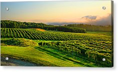 Hill-top Vineyard Acrylic Print by Steven Ainsworth