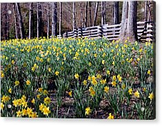 Hills Of Daffodils Acrylic Print by Betty Northcutt