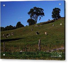 Hillside Grazing Acrylic Print