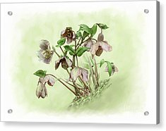 Hillside Hellebores Acrylic Print by Artellus Artworks