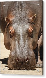 Hippopotamus Acrylic Print by Ernie Echols