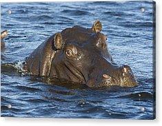 Hippopotamus Hippopotamus Amphibius Acrylic Print by Suzi Eszterhas