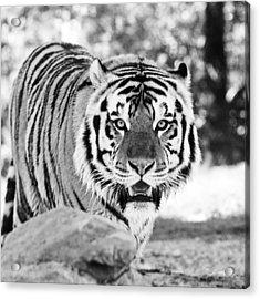 His Majesty Acrylic Print by Scott Pellegrin