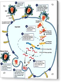 Hiv Virus Replication Cycle Acrylic Print by Science Source