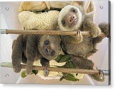 Hoffmanns Two-toed Sloth Orphaned Babies Acrylic Print by Suzi Eszterhas