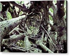 Hollow Trunk Of Strangler Fig Acrylic Print