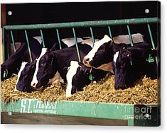 Holstein Dairy Cows Acrylic Print by Photo Researchers