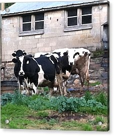 Acrylic Print featuring the photograph Holstein  by Elizabeth Coats