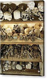 Hominid Skull Casts Acrylic Print by Volker Steger