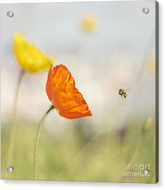 Honey Bee And Colorful Poppies Acrylic Print