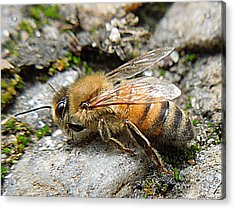 Acrylic Print featuring the photograph Honey Bee On Rocks by Renee Trenholm