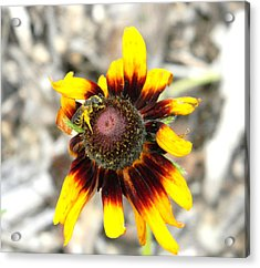 Acrylic Print featuring the photograph Honey Bee On Yellow Daisy by Jodi Terracina