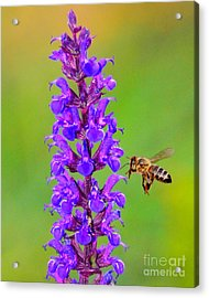 Acrylic Print featuring the photograph Honeybee N Blooms by Jack Moskovita