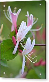 Acrylic Print featuring the photograph Honeysuckle by JD Grimes