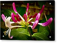 Honeysuckle Two Acrylic Print by Michael Putnam