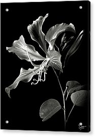 Hong Kong Orchid In Black And White Acrylic Print