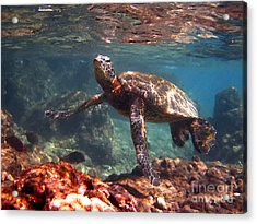 Honu In The Shallows Acrylic Print