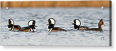 Hooded Mergansers Acrylic Print