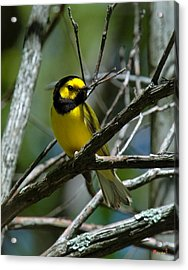 Acrylic Print featuring the photograph Hooded Warbler Dsb166  by Gerry Gantt