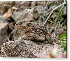 Horned Toad Acrylic Print by FeVa  Fotos