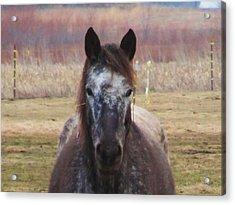 Horse-1 Acrylic Print by Todd Sherlock