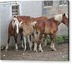 Horse Gossip Acrylic Print by Donna Bosela