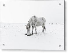 Horse Grazing In Snow Acrylic Print