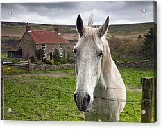 Horse Peering Over Fence, North Acrylic Print