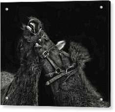 Horse Play Acrylic Print by Pat Abbott