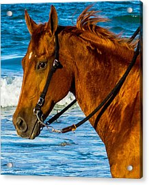 Horse Portrait  Acrylic Print by Shannon Harrington