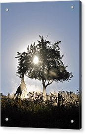 Horse Reaching For Apples Acrylic Print