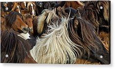 Horse Round-up Acrylic Print by Arctic-Images