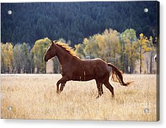 Horse Running Acrylic Print by Alan and Sandy Carey and Photo Researchers