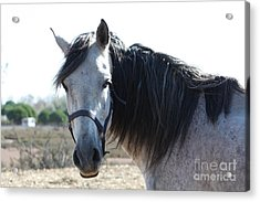 Horse With A Look  Acrylic Print