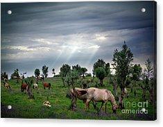 Horses Eating Acrylic Print by Carlos Caetano