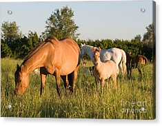 Horses In Green Grassy Pasture Acrylic Print by Cindy Singleton