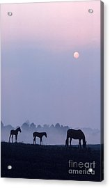 Horses In Kentucky Acrylic Print by Frederica Georgia and Photo Researchers