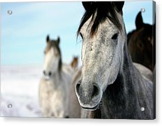 Horses In The Snow Acrylic Print by Lori Andrews