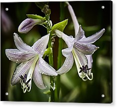 Hosta Makes Three Acrylic Print by Michael Putnam