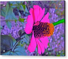 Hot In Pink Acrylic Print by Randy Rosenberger