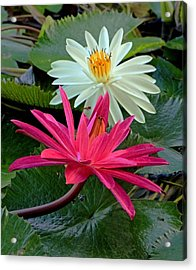 Acrylic Print featuring the photograph Hot Pink And White Water Lillies by Larry Nieland
