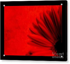 Hot Red Gerber Daisy Acrylic Print by Marsha Heiken