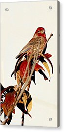 Acrylic Print featuring the photograph House Finch Perch by Elizabeth Winter