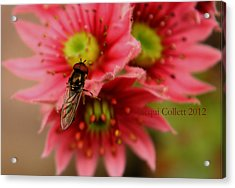 Hover Fly II Acrylic Print by Jacqui Collett