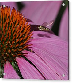 Hoverfly Hovering Over Cornflower Acrylic Print