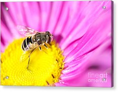 Hoverfly On Pink Aster Acrylic Print by Sharon Talson