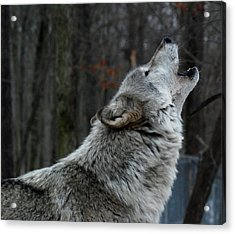 Howling Tundra Wolf Acrylic Print by Richard Bryce and Family