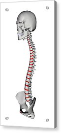 Human Backbone, Artwork Acrylic Print by Friedrich Saurer