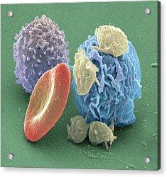 Human Blood Cells, Sem Acrylic Print by Steve Gschmeissner